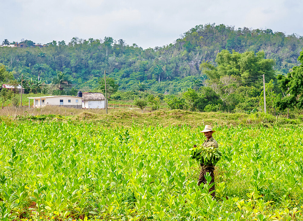 Man harvesting tobacco leaves, Vinales Valley, UNESCO World Heritage Site, Pinar del Rio Province, Cuba, West Indies, Caribbean, Central America