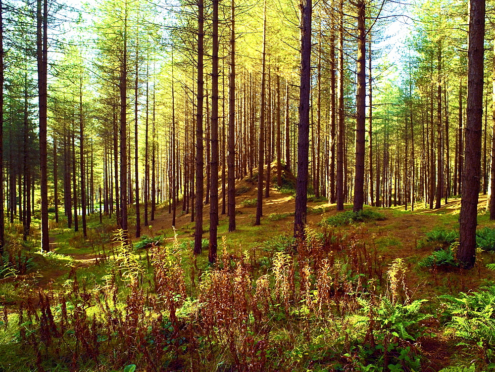 An autumn view of Newborough Forest and Nature Reserve on the Isle of Anglesey, North Wales, UK - 1246-45