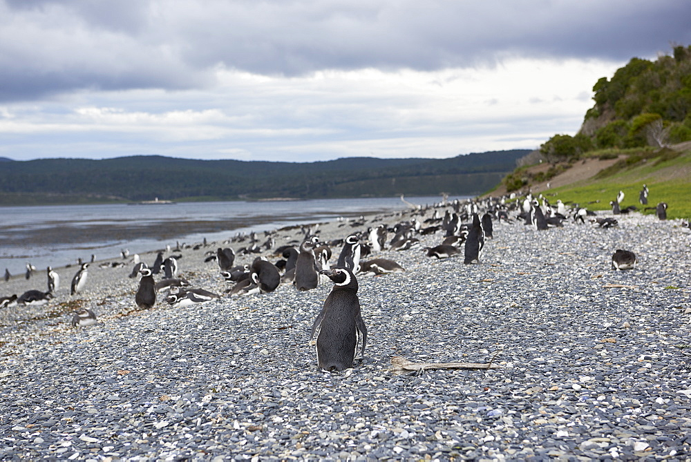 A magellanic penguin colony at the beach on Martillo Island, Tierra del Fuego, Argentina, South America