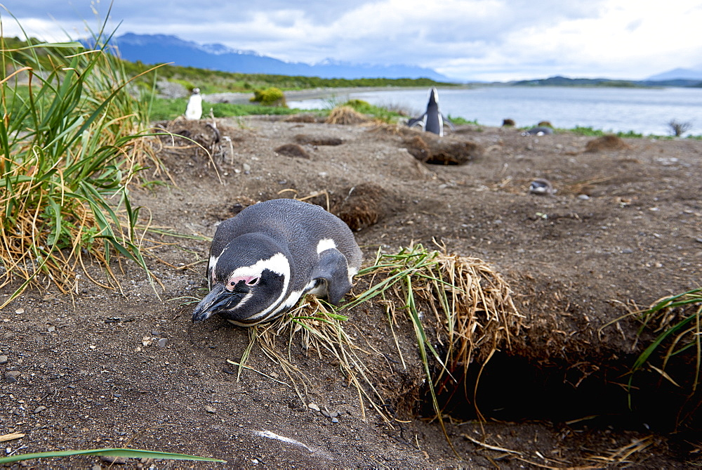 A magellanic penguin on Martillo Island, Tierra del Fuego, Argentina, South America