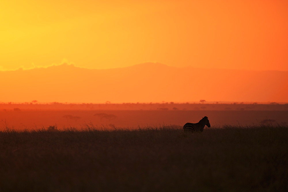 Burchell's zebra at sunrise (Equus quagga), Serengeti National Park, Tanzania, East Africa, Africa