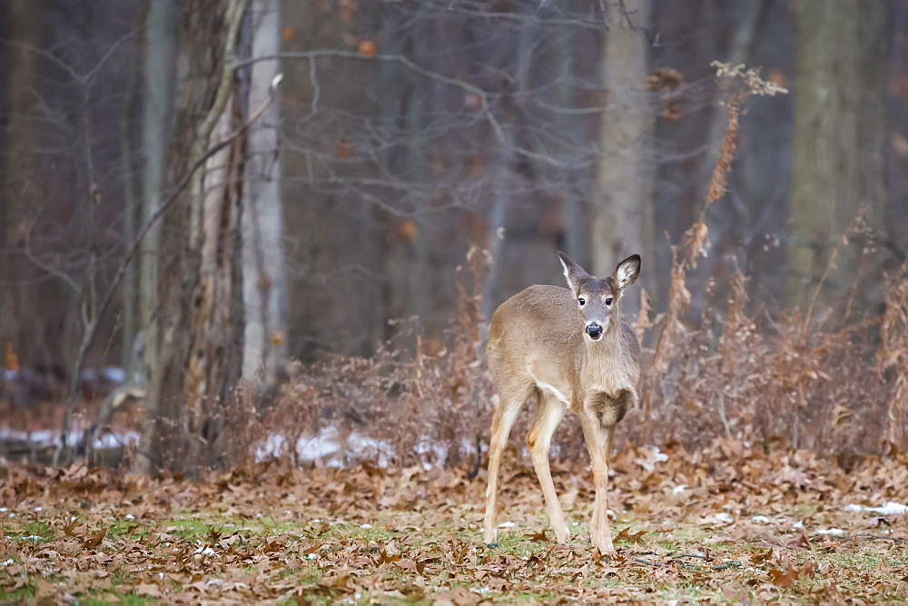 White-tailed deer (Odocoileus virginianus), Ohio, United States of America, North America