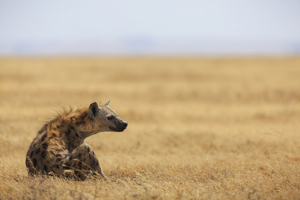 Spotted hyena (Crocuta crocuta), Ngorongoro Conservation Area, Tanzania, East Africa, Africa - 1249-21