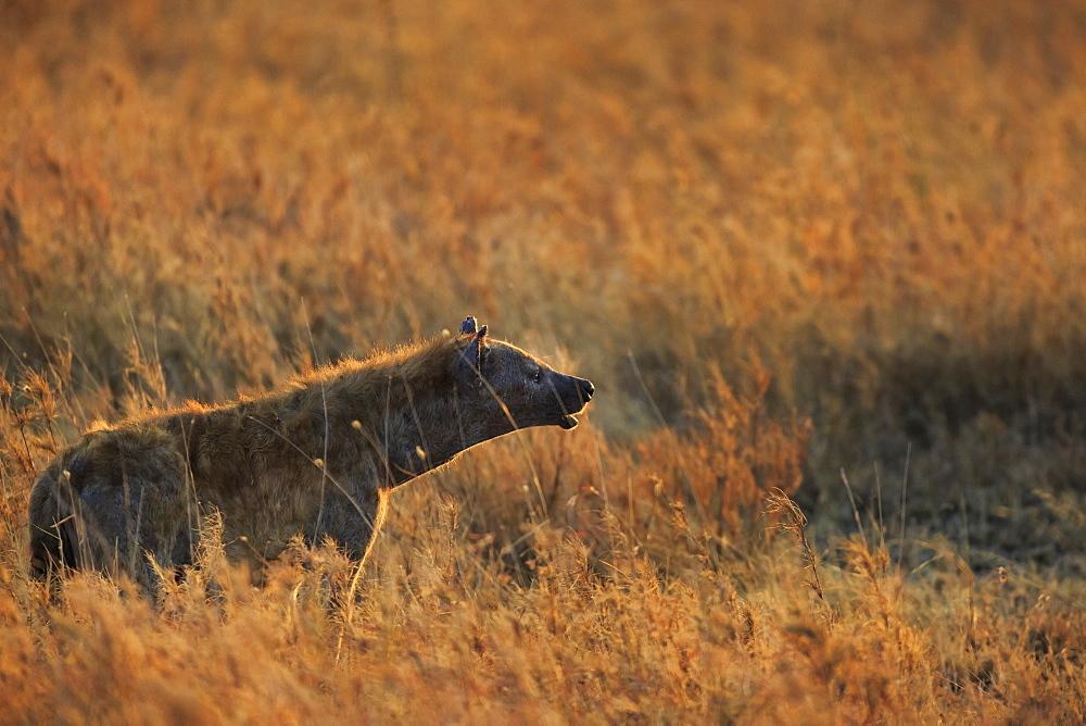 Spotted hyena (Crocuta crocuta), Serengeti National Park, Tanzania, East Africa, Africa - 1249-22