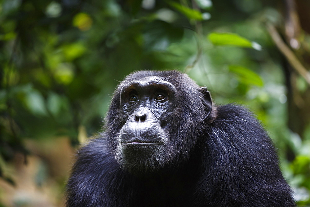 Chimpanzee (P. troglodytes), Kibale National Park, Uganda.