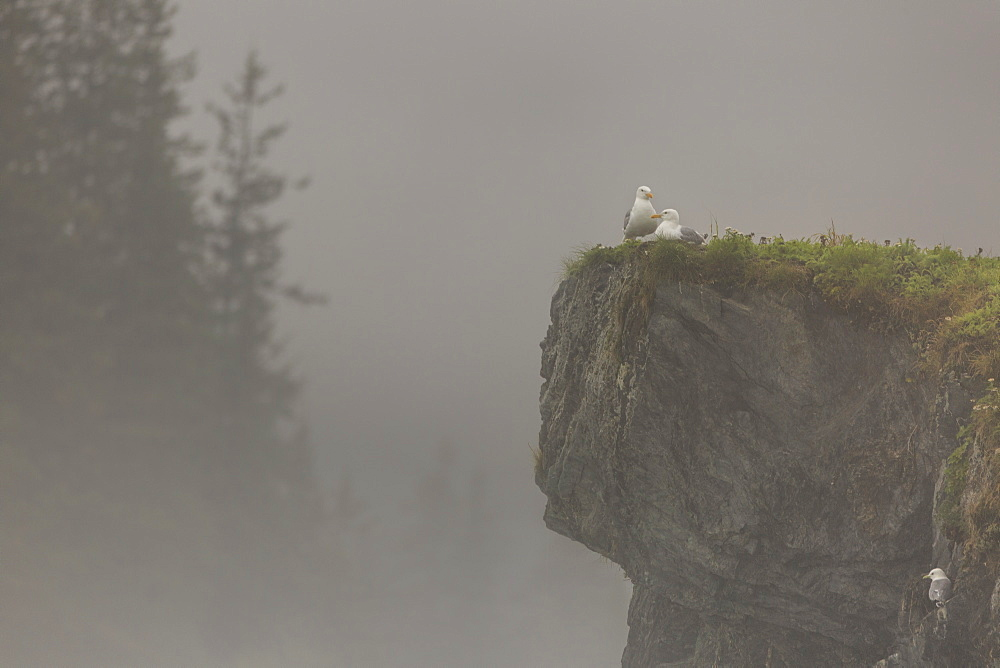 Glacous-winged gulls (Larus glaucescens) perched on a cliff in the mist, Valdez, Alaska, United States of America, North America - 1249-28