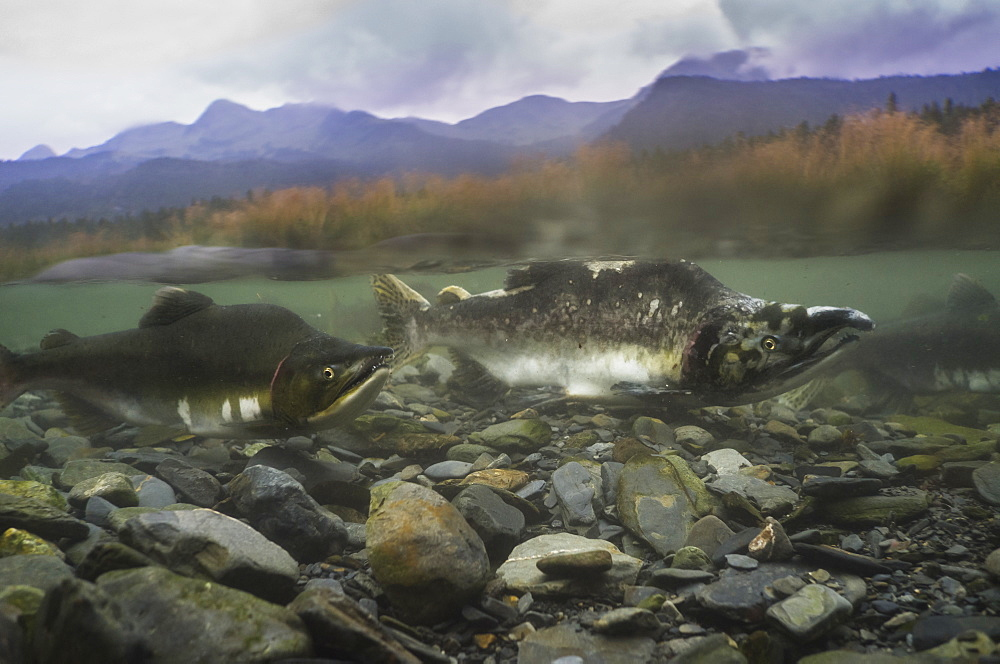 Pink salmon (Oncorhynchus gorbuscha), spawning season, Prince William Sound, Alaska, United States of America, North America