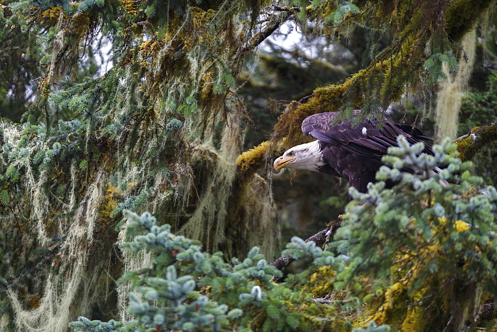 Bald eagle (Haliaeetus leucocephalus), Prince William Sound, Alaska, United States of America, North America