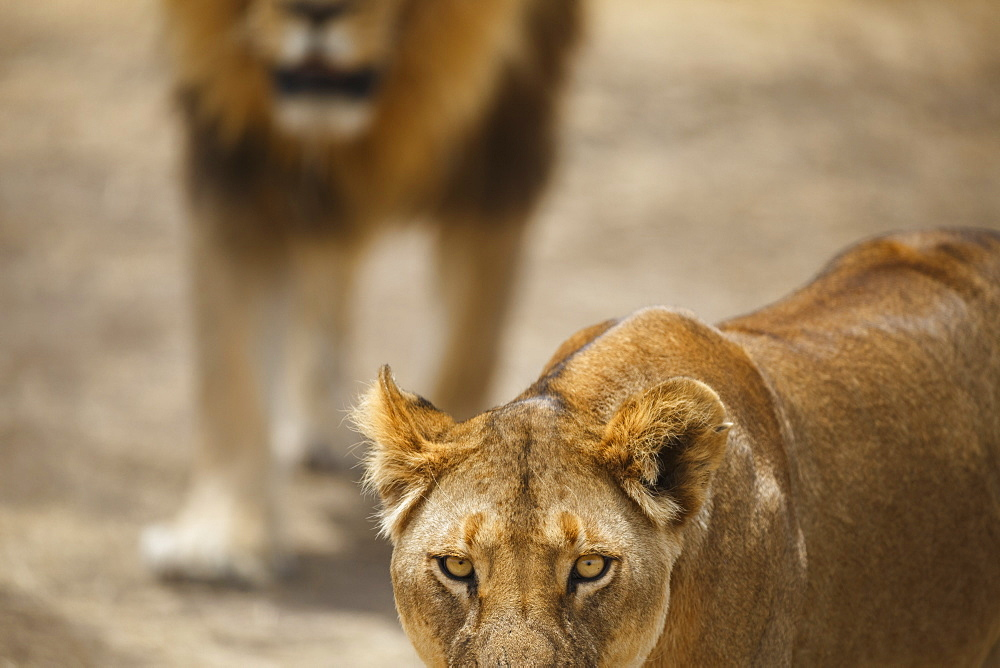 Pair of lions (Panthera leo), Serengeti National Park, Tanzania, East Africa, Africa