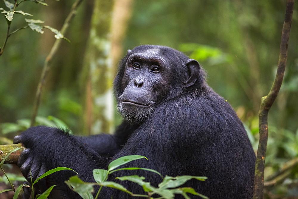 Chimpanzee (Pan troglodytes), Kibale National Park, Uganda, Africa - 1249-33