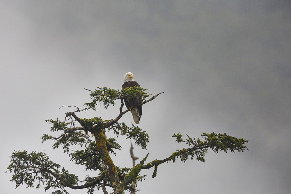 Bald eagle in the mist, Chugach National Forest, Alaska, United States of America, North America