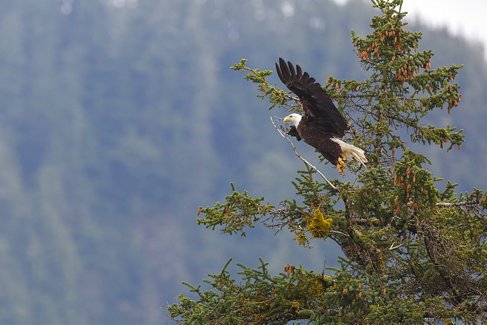 Bald eagle (Haliaeetus leucocephalus), Chugach National Forest, Alaska, United States of America, North America