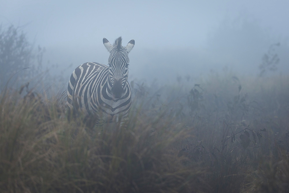 Zebra (Equus quagga) in the mist, Ngorongoro Conservation Area, Tanzania, East Africa, Africa