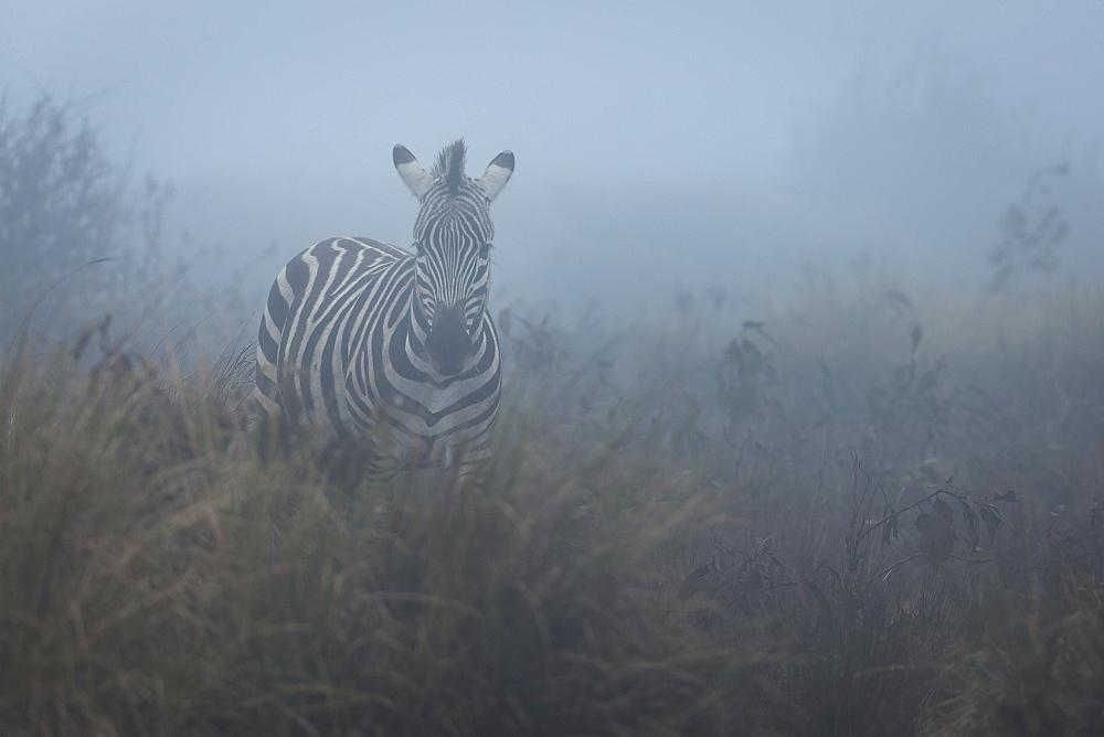 Zebra (Equus quagga) in the mist, Ngorongoro Conservation Area, Tanzania.
