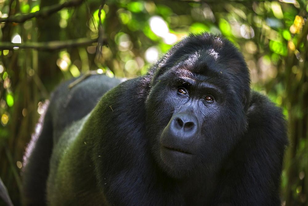 Mountain gorilla (Gorilla beringei beringei), Bwindi Impenetrable Forest, Uganda, Africa - 1249-48