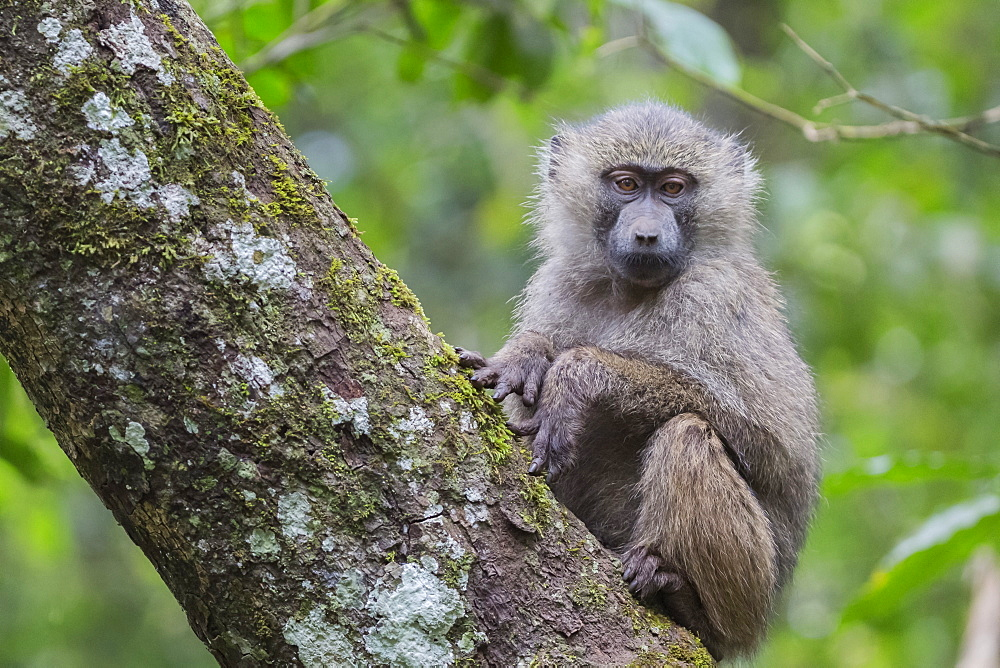 Juvenile olive baboon sitting in tree, Arusha National Park, Tanzania, Africa