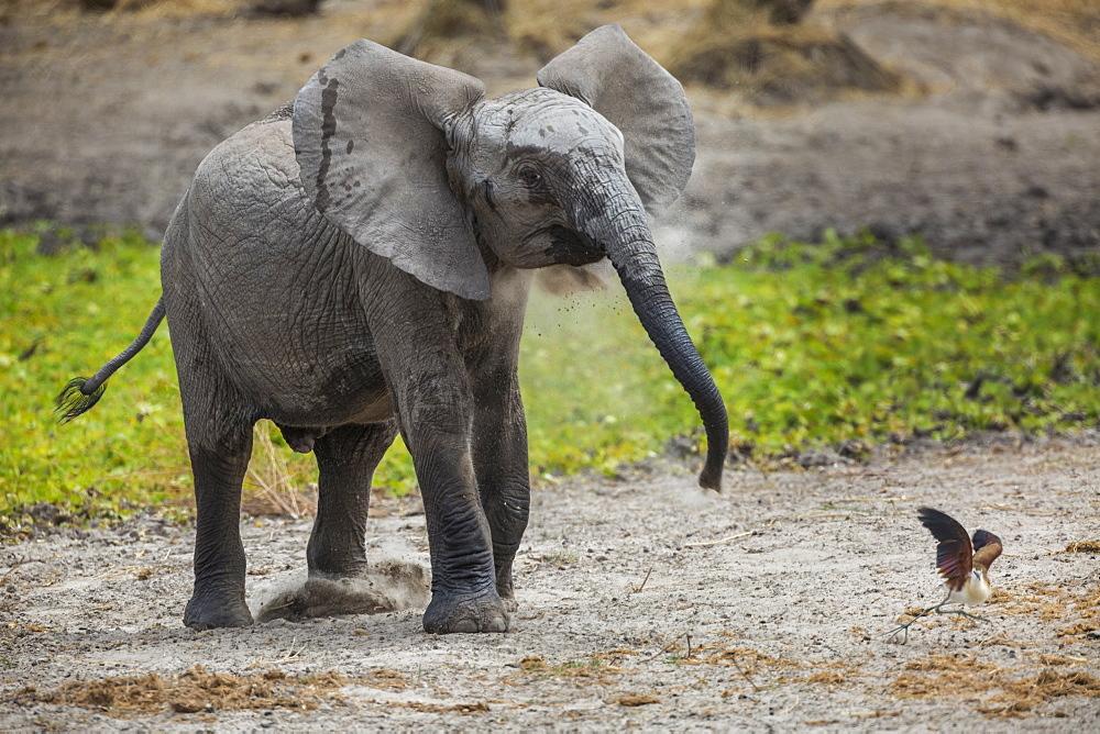 Baby elephant chasing bird (L. africana), Tarangire National Park, Tanzania, East Africa, Africa - 1249-51