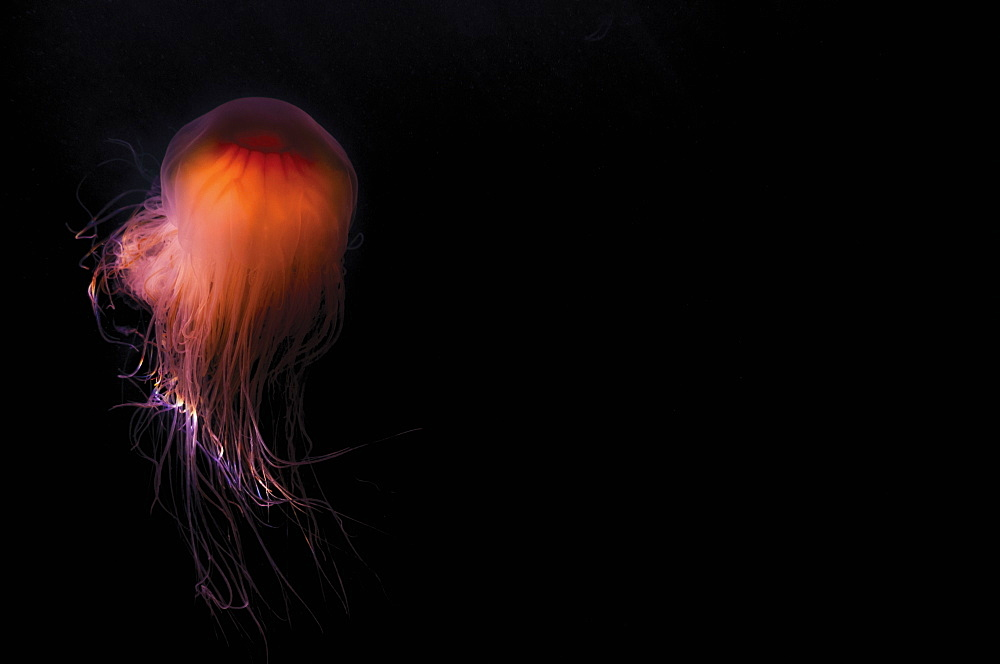 Lion's mane jellyfish ((Cyanea capillata), Prince William Sound, Alaska, United States of America, North America