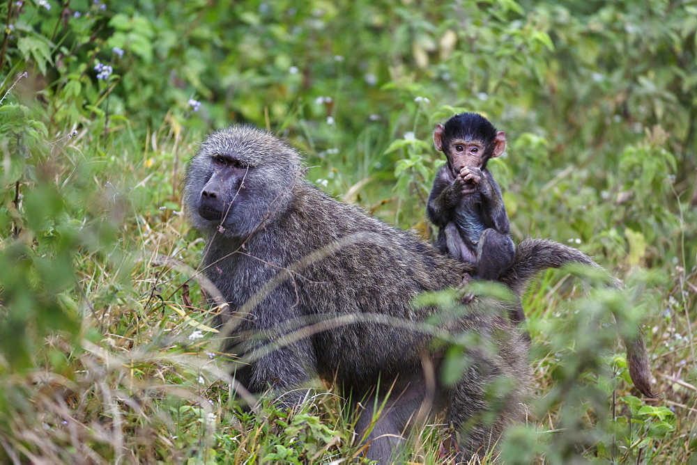 Olive baboon with baby on back (Papio anubis), Arusha National Park, Tanzania