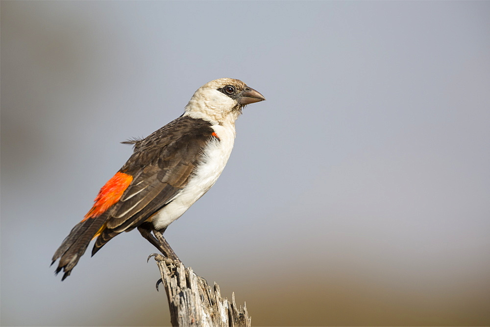 White-headed buffalo weaver (Dinemellia dinemelli), Serengeti National Park, Tanzania, East Africa, Africa