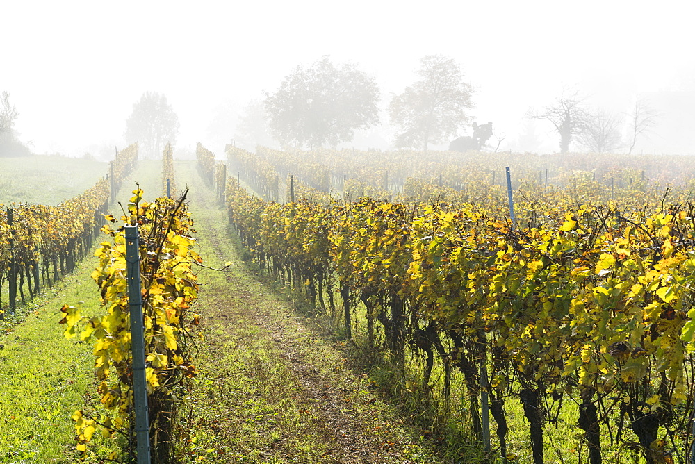 Vineyard in the mist, Uhldingen-Muhlhofen, Baden-Wurttemberg, Germany, Europe - 1251-417
