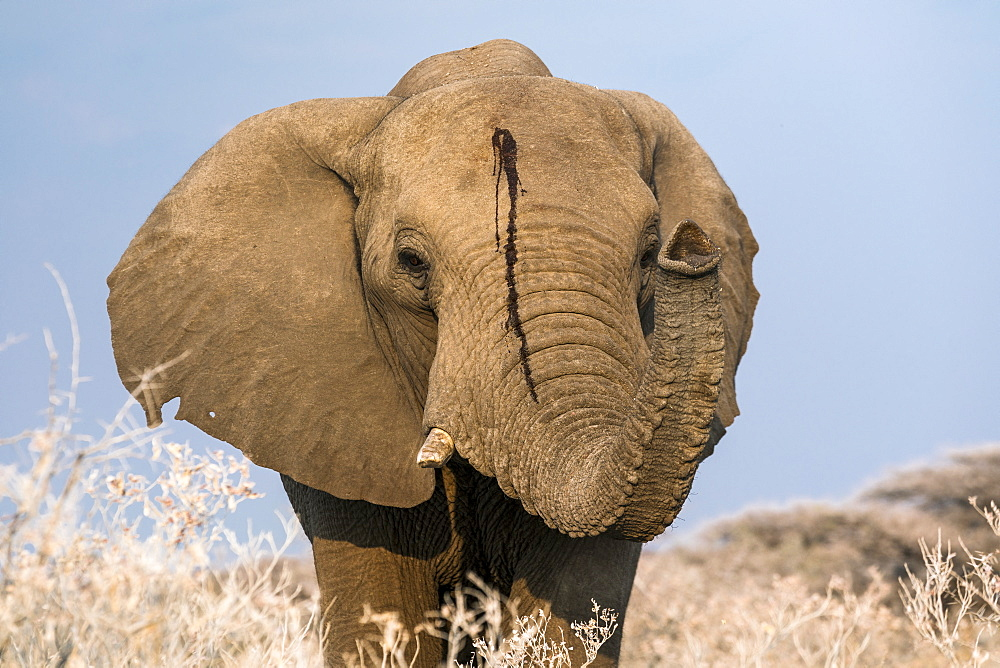 Portrait of a male elephant. Etosha National Park, Oshikoto region, Namibia.