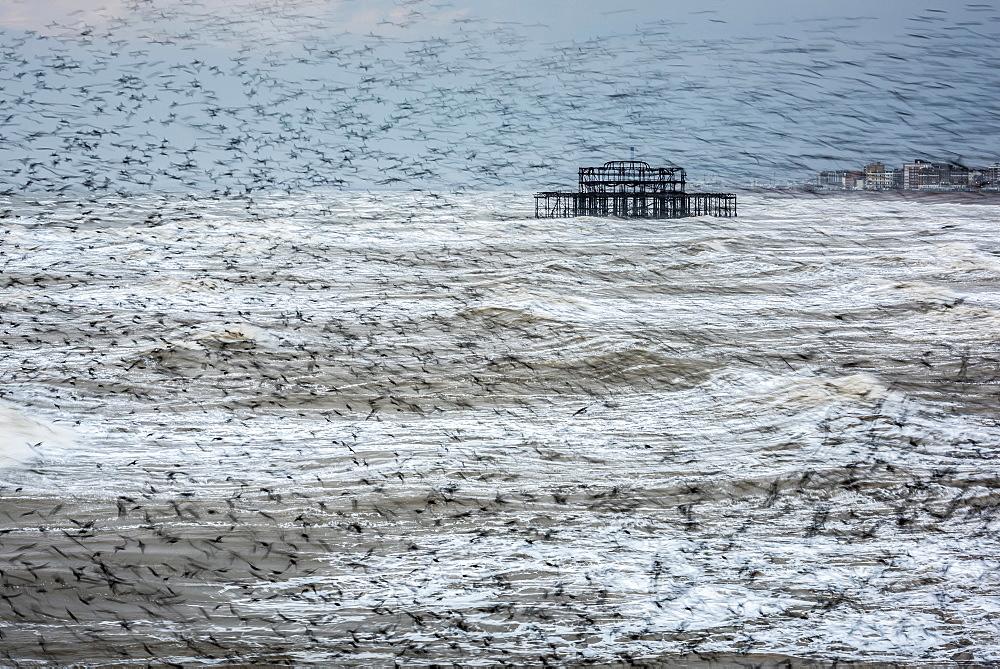 Starling murmuration (Sturnus vulgaris), and remains of West Pier, Brighton, East Sussex, England, United Kingdom, Europe