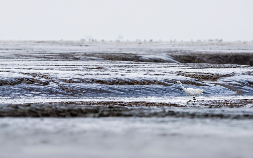 A Little Egret (Egretta garzetta) stalking across the mudflats at RSPB Snettisham on the North Norfolk Coast, Norfolk, England, United Kingdom, Europe