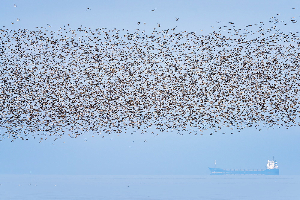 Part of 60000 birds including Knot (Calidris canutus) at Snettisham RSPB flying over a tanker off the north coast of Norfolk, England, United Kingdom, Europe