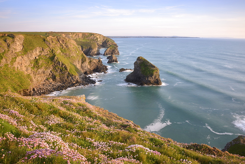 Sea Thrift growing on cliffs overlooking Bedruthan Steps, Cornwall, England, United Kingdom, Europe