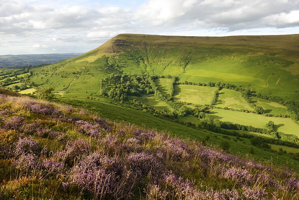 Flowering heather on Mynydd Llangorse with a view towards Mynydd Troed in the Brecon Beacons, Wales, United Kingdom, Europe