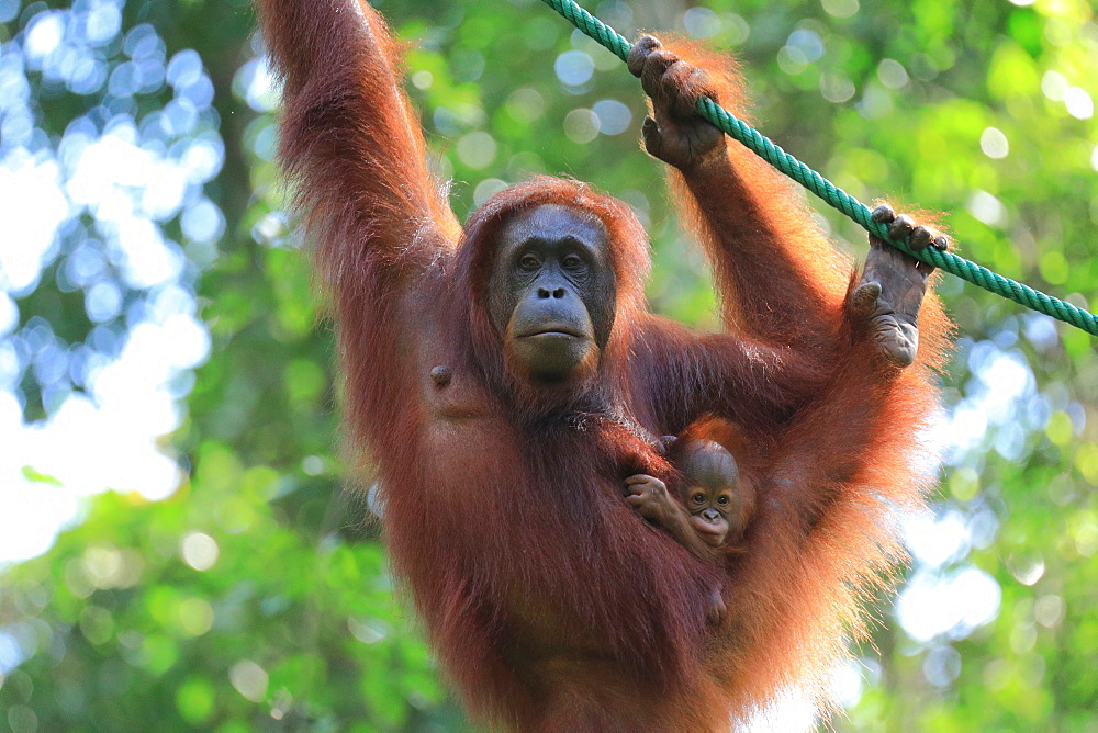 Bornean Orangutan mother and baby, Borneo, Malaysia, Southeast Asia, Asia