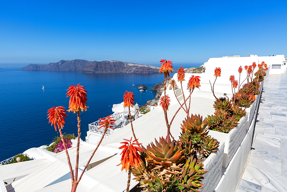 Red hot poker flowering plants (Kniphofia) (tritoma) (torch lily) (knofflers) line the street in Oia, Santorini, Cyclades, Greek Islands, Greece, Europe - 1263-44