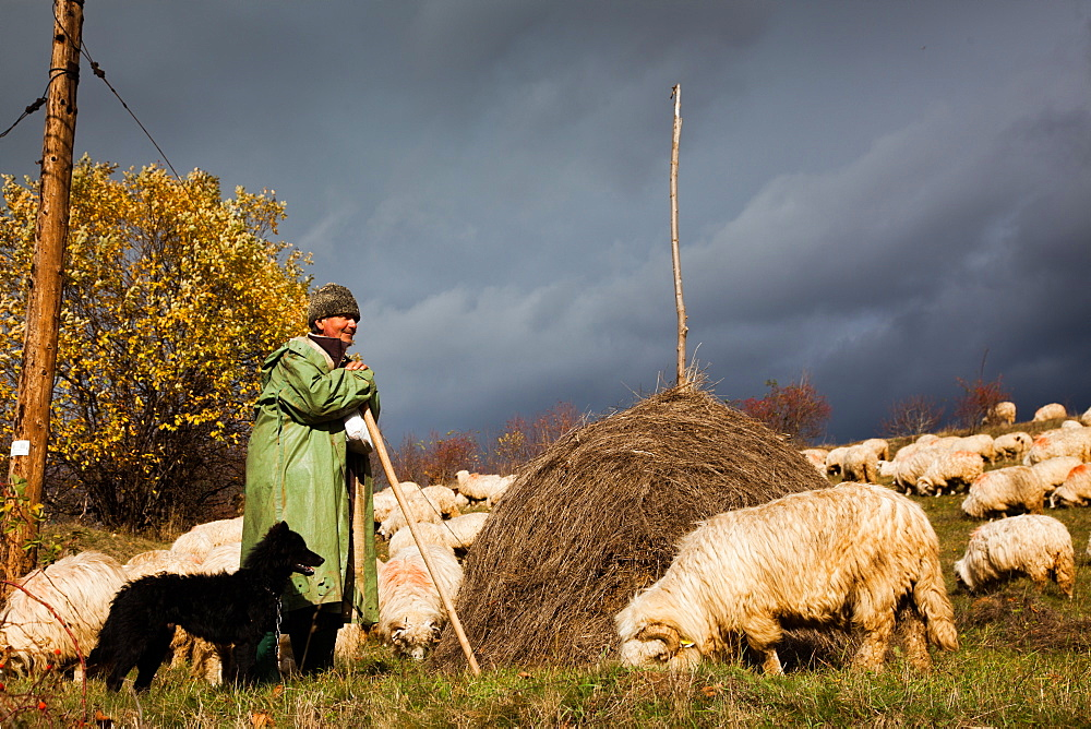 Shepherd with his dog and herd of sheep, Transylvania, Romania, Europe