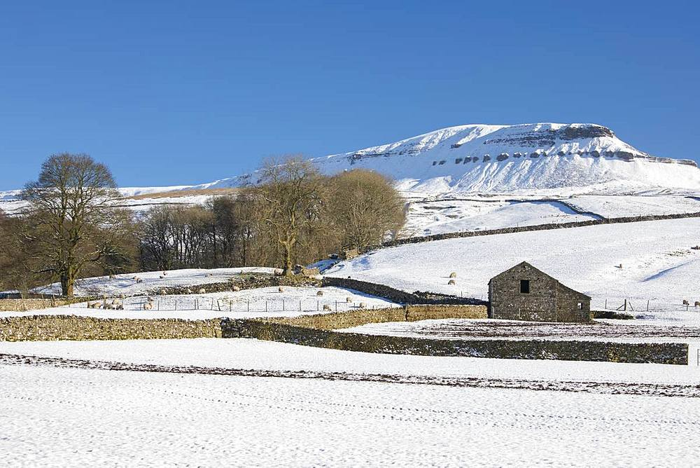 Pen-y-ghent with a covering of snow and traditional stone field barn (laithe) in winter at Horton-in-Ribblesdale, North Yorkshire, England, United Kingdom, Europe - 1266-128