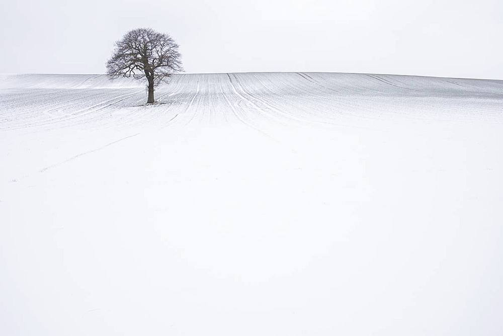 Lone solitary tree in winter snow covered field with plain background, Wakefield, West Yorkshire, Yorkshire, England, United Kingdom, Europe - 1266-136