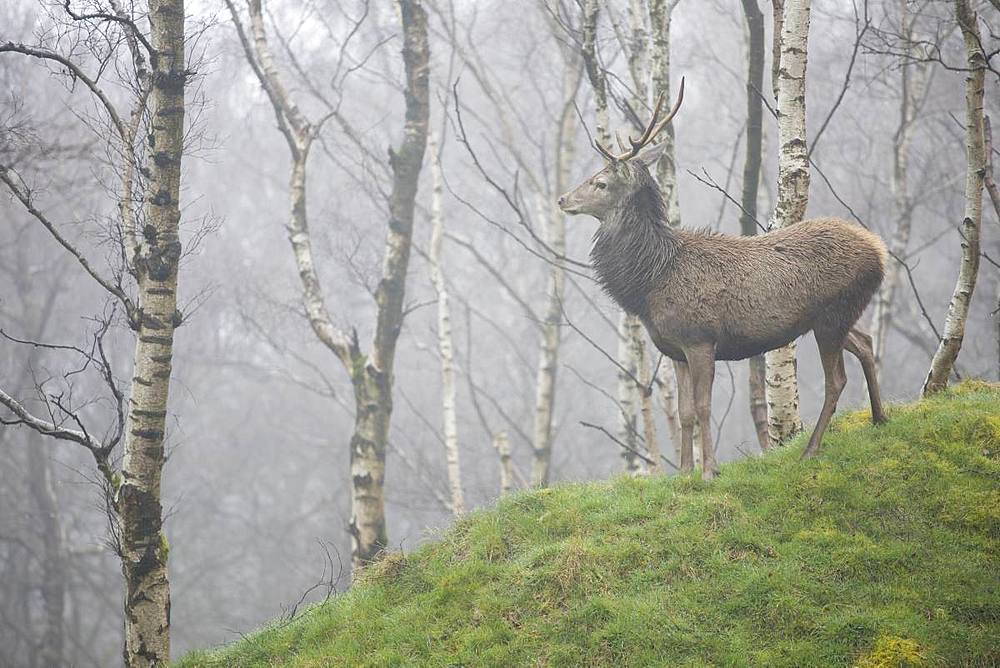 Red Deer (Cervus elaphus) stag and silver birch trees in woodland location, Peak District, Derbyshire, England, United Kingdom, Europe - 1266-138