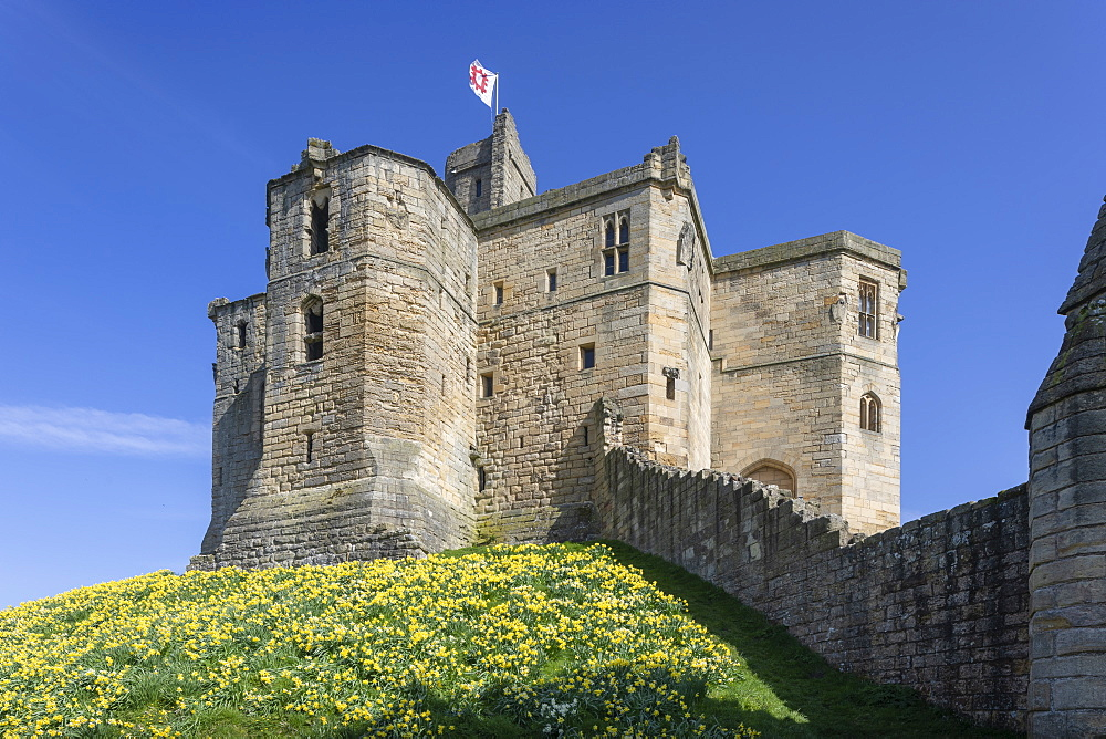Spring flowering Daffodils on the embankment of Warkworth Castle, Warkworth, Morpeth, Northumberland, England, United Kingdom, Europe - 1266-186