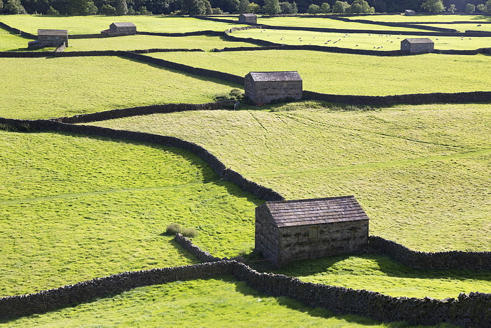 Stone field barns and dry stone walls at Gunnerside, Swaledale, Yorkshire Dales, Yorkshire, England, United Kingdom, Europe