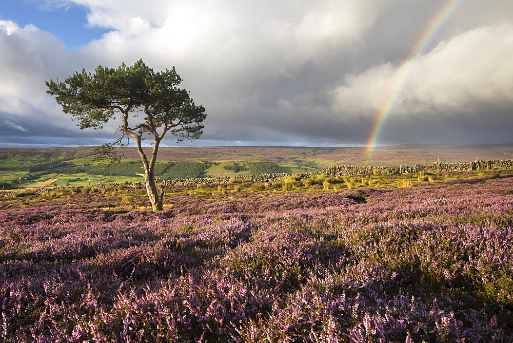 Rainbow and lone tree with colourful heather above the village of Fremington, Swaledale, Yorkshire Dales, North Yorkshire, England, United Kingdom, Europe - 1266-31
