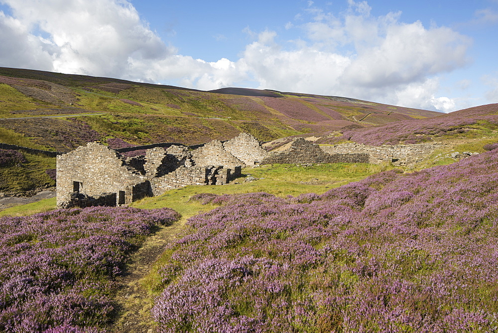 Colourful heather and the ruins of a Lead smelting mill at Surrender Bridge, Swaledale, Yorkshire Dales, North Yorkshire, England, United Kingdom, Europe