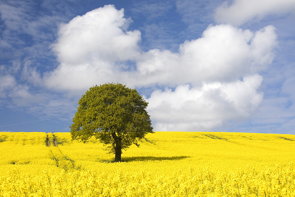 Sunlit lone tree and field of oilseed rape (canola) with blue sky and white clouds, Wakefield, West Yorkshire, Yorkshire, England, United Kingdom, Europe - 1266-4