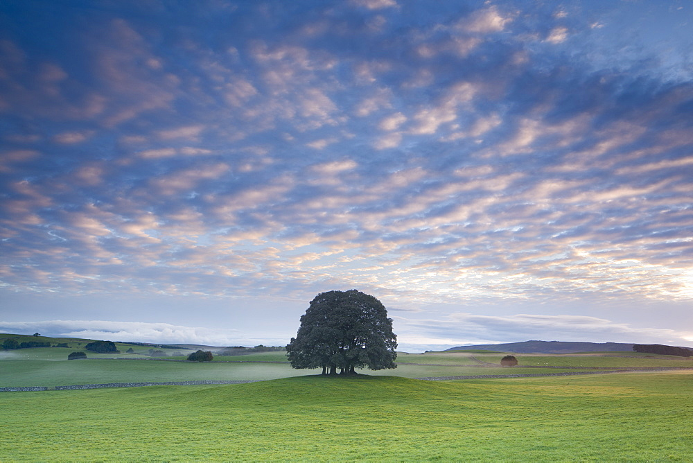Small copse of trees and countryside at sunrise at Airton near Malham, Malhamdale, Yorkshire Dales, North Yorkshire, Yorkshire, England, United Kingdom, Europe