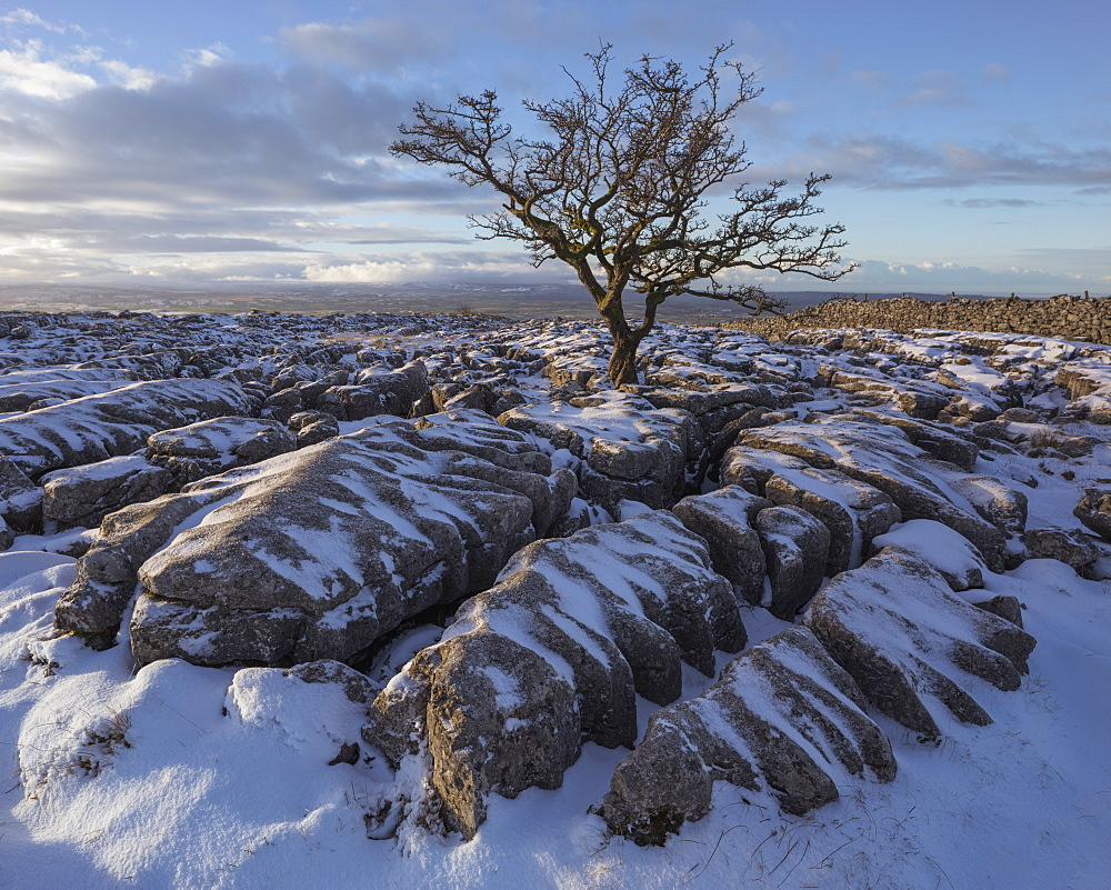 Hawthorn tree and Limestone pavement in winter snow at sunrise, Twisleton Scar, Ingleton, Yorkshire Dales, North Yorkshire, Yorkshire, England, United Kingdom, Europe - 1266-85