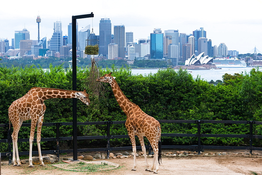 Tarronga Zoo's giraffes with Sydney city skyline behind, Sydney, New South Wales, Australia, Pacific