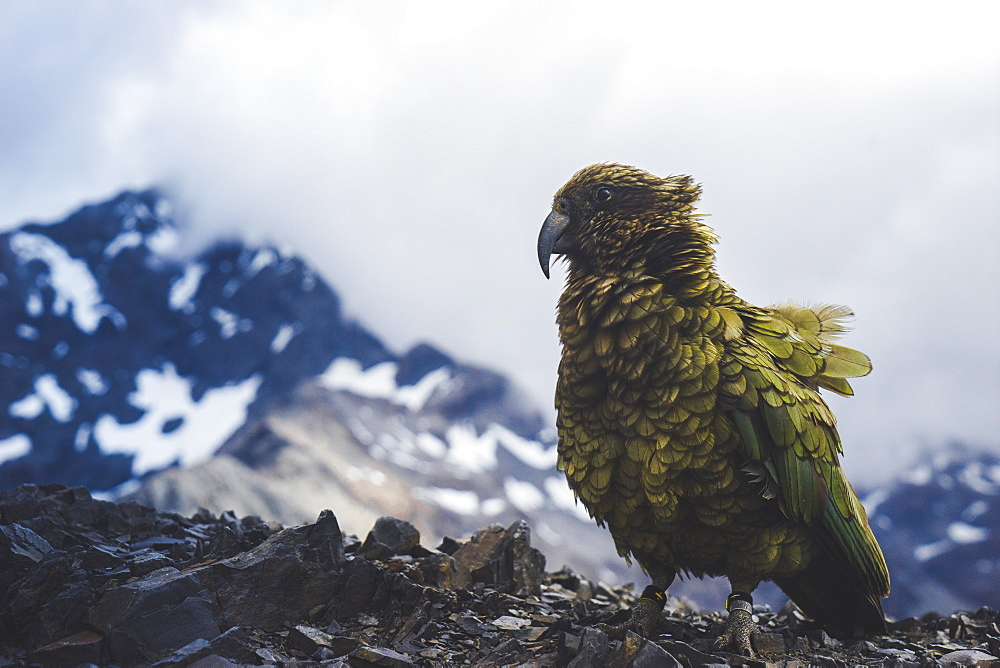 Kea on Avalanche Peak, Arthurs Pass, South Island, New Zealand, Pacific - 1268-3