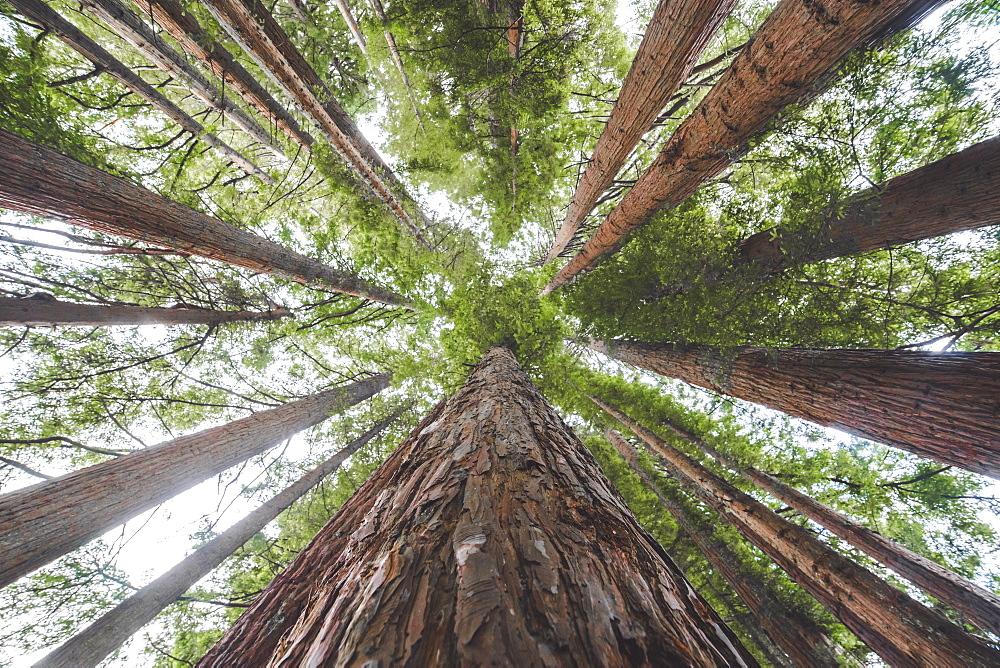 Whakarewarewa red woods, Rotorua, North Island, New Zealand, Pacific