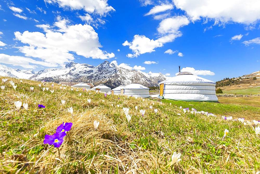 Spring at the Mongolian tents of Alp Flix, Sur, Surses, Parc Ela, Region of Albula, Canton of Graubunden, Switzerland, Europe