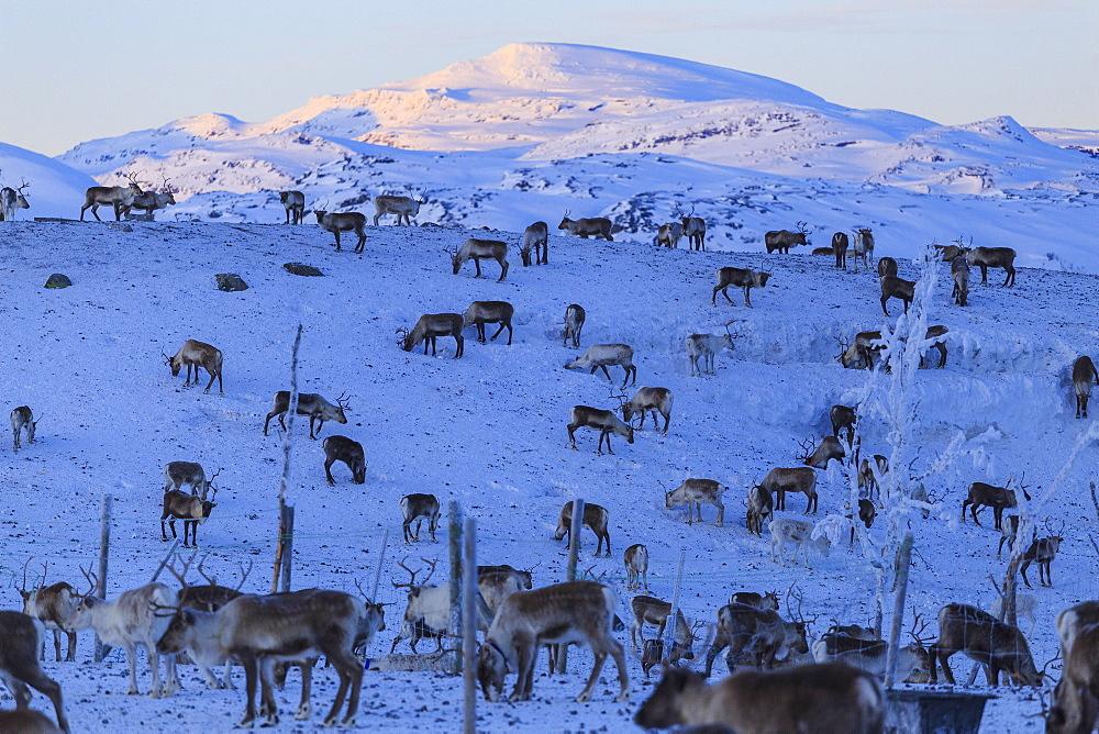 Reindeer grazing, Riskgransen, Norbottens Ian, Lapland, Sweden, Scandinavia, Europe - 1269-21