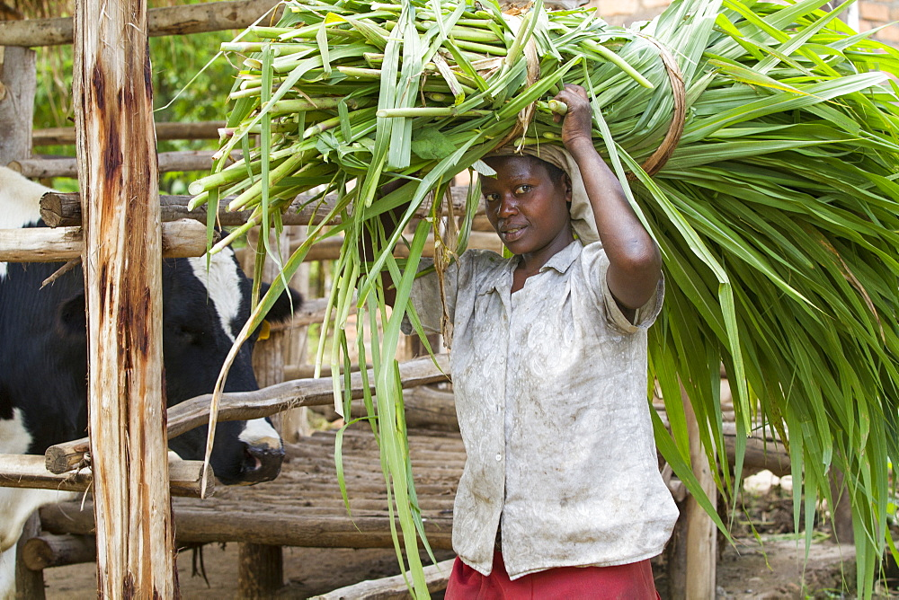 A female farmer carries long grass on her head to feed her cow, Uganda, Africa - 1270-104